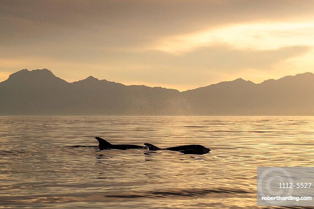 Adult bottlenose dolphins (Tursiops truncatus) surfacing near Isla Santa Catalina, Baja California Sur, Mexico, North America
