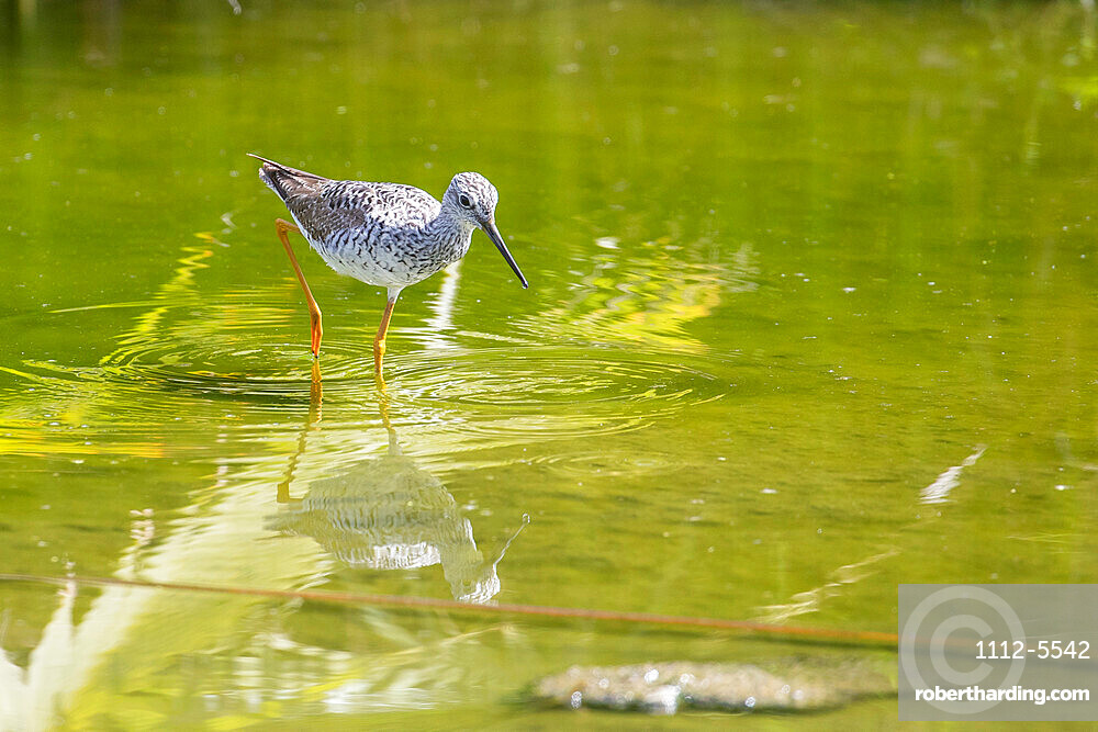 An adult greater yellowlegs (Tringa melanoleuca), wading in a stream in San Jose del Cabo, Baja California Sur, Mexico, North America