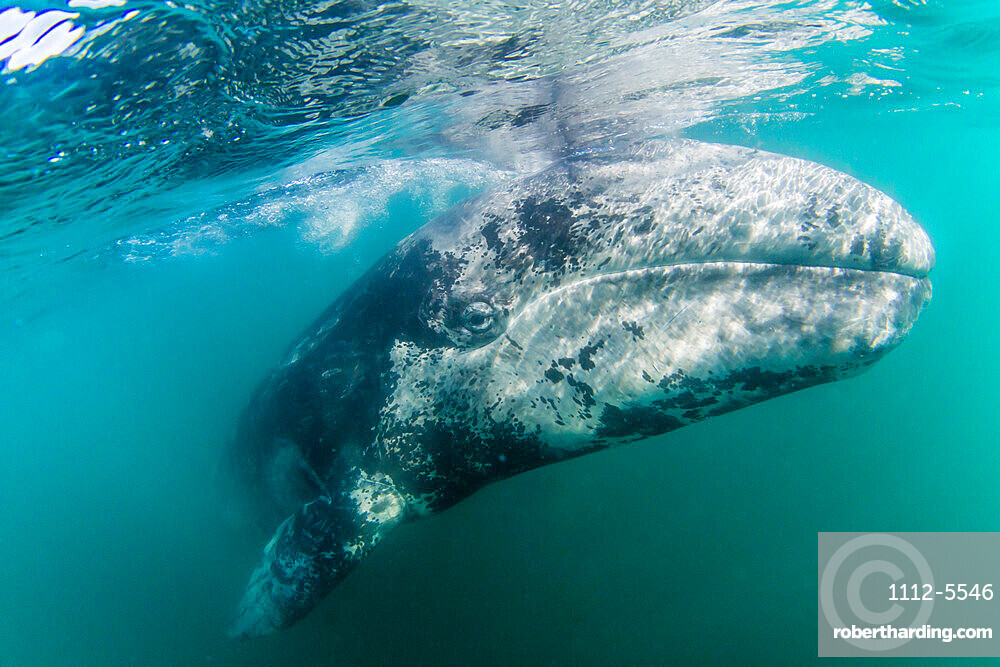 California gray whale calf (Eschrichtius robustus) underwater, San Ignacio Lagoon, Baja California Sur, Mexico, North America