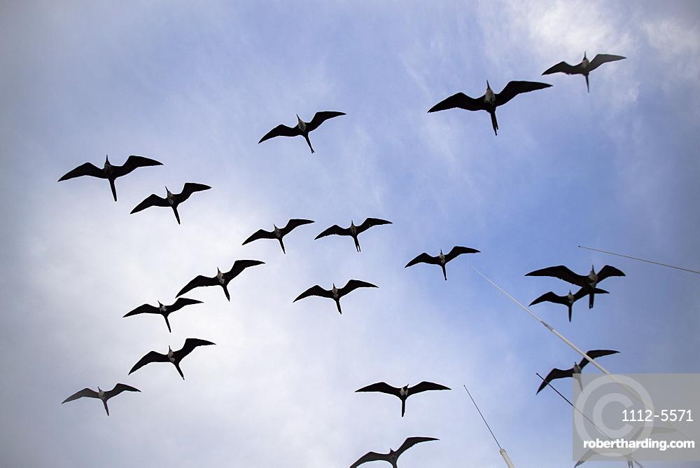 Magnificent frigatebird (Fregata magnificens), breeding colony in Bahia Gabriel, Isla del Espiritu Santo, BCS, Mexico, North America