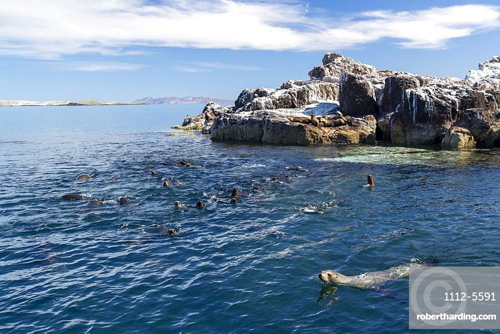 California sea lions (Zalophus californianus), near a reef in the San Jose Channel, Baja California Sur, Mexico, North America