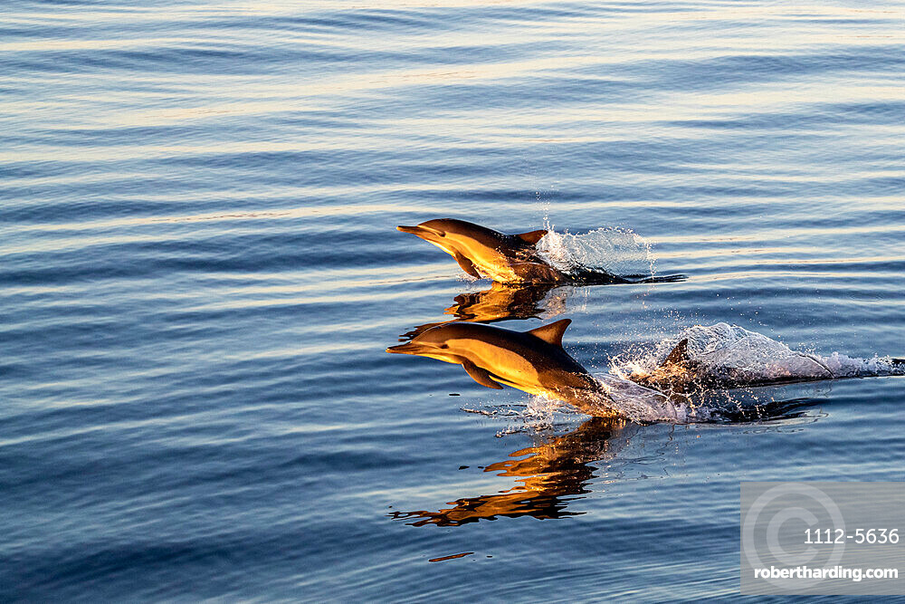 Adult long-beaked common dolphins, Delphinus capensis, at sunrise off Isla Ildefonso, Baja California, Mexico.