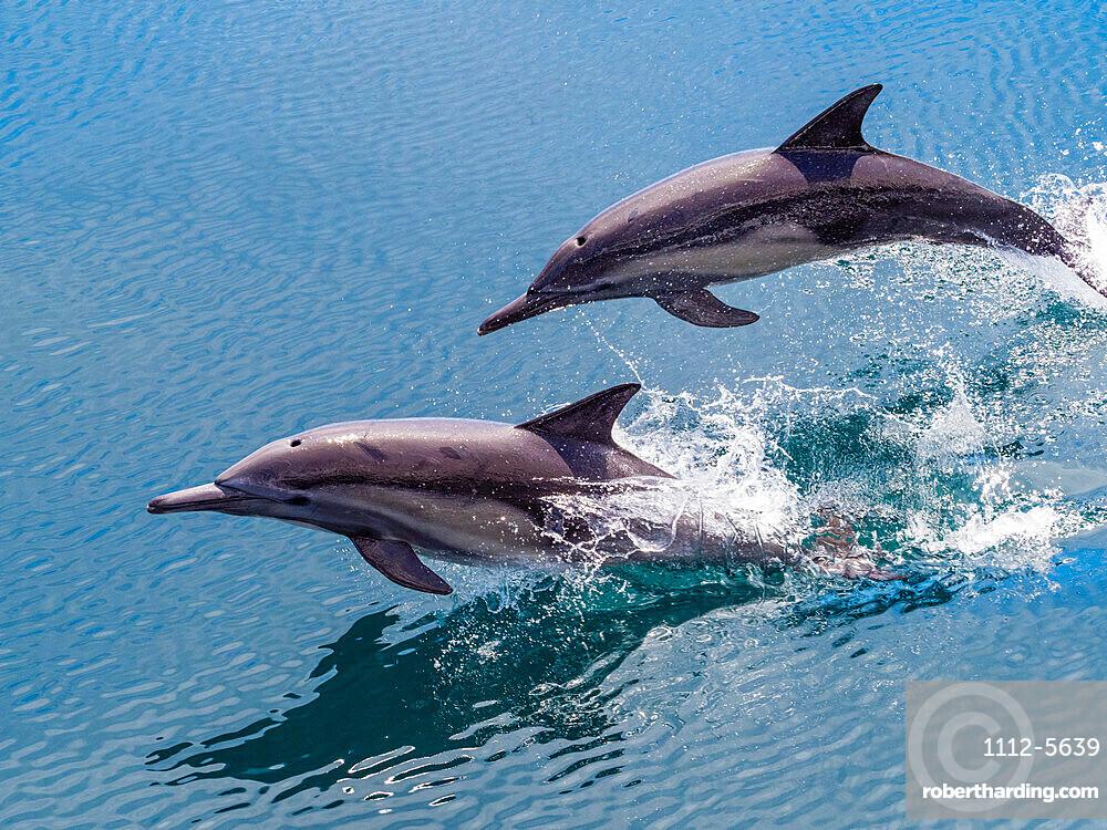 Long-beaked common dolphins, Delphinus capensis, leaping, Isla San Pedro Esteban, Baja California, Mexico.