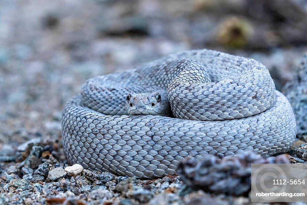 Ashy morph of the Santa Catalina rattlesnake, Crotalus catalinensis, endemic to Isla Santa Catalina, BCS, Mexico.