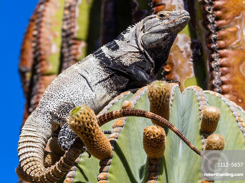 Adult male San Esteban spiny-tailed iguana, Ctenosaura conspicuosa, endemic to Isla San Esteban, BC, Mexico.