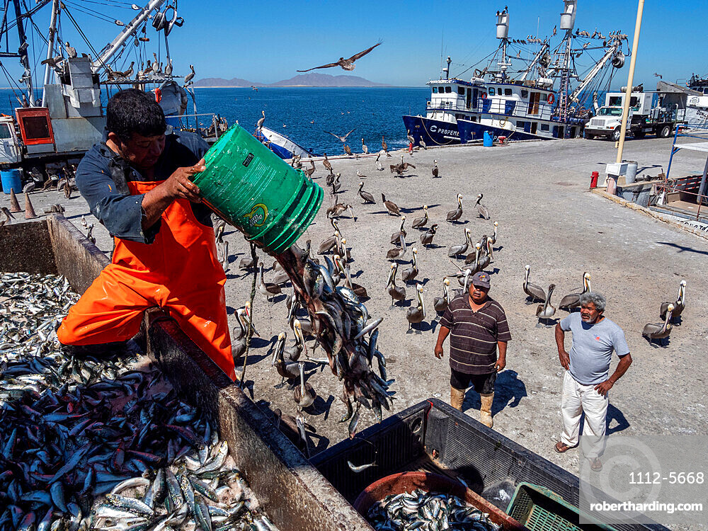 Days catch of sardines being sorted at a fish processing plant in Puerto San Carlos, Baja California Sur, Mexico.