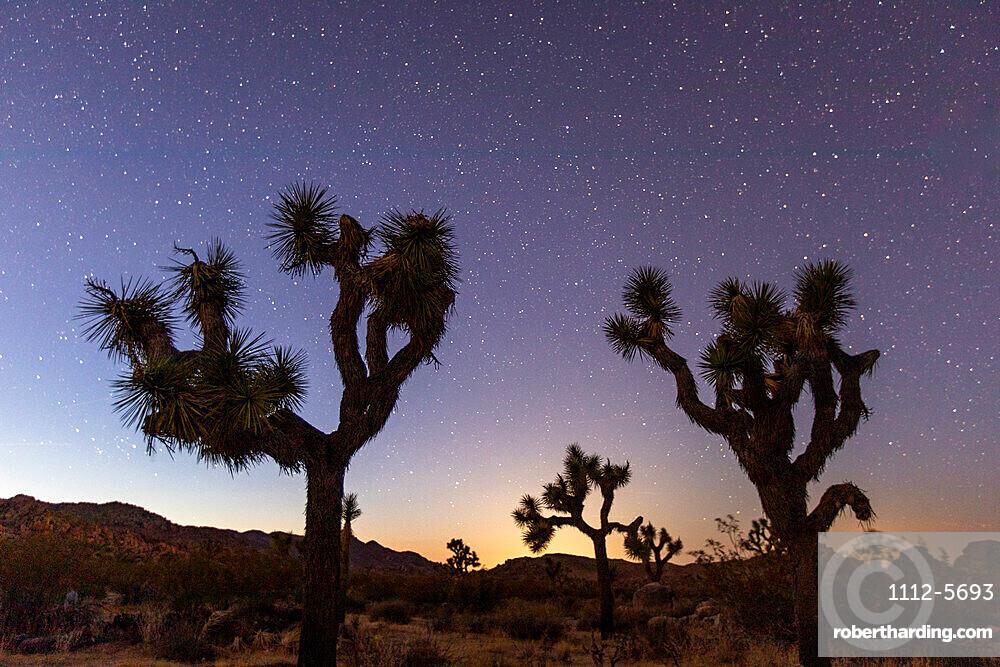 Joshua tree, Yucca brevifolia, at night in Joshua Tree National Park, Mojave Desert, California, USA.