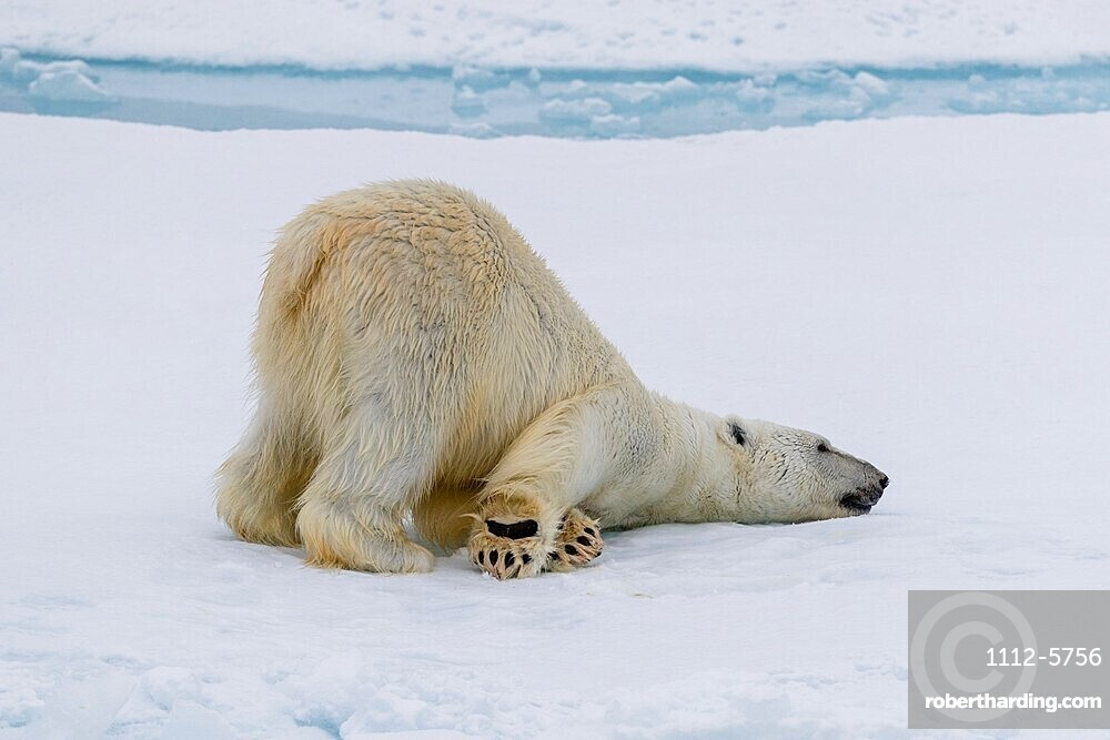 Adult polar bear, Ursus maritimus, cleaning its fur from a recent kill on ice near Ellesmere Island, Nunavut, Canada.