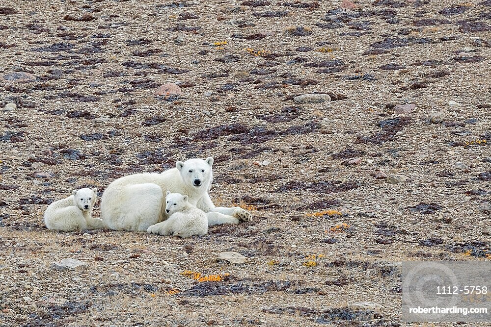 Polar bear mother with 2 cubs of the year, Ursus maritimus, Makinson Inlet, Ellesmere Island, Nunavut, Canada.
