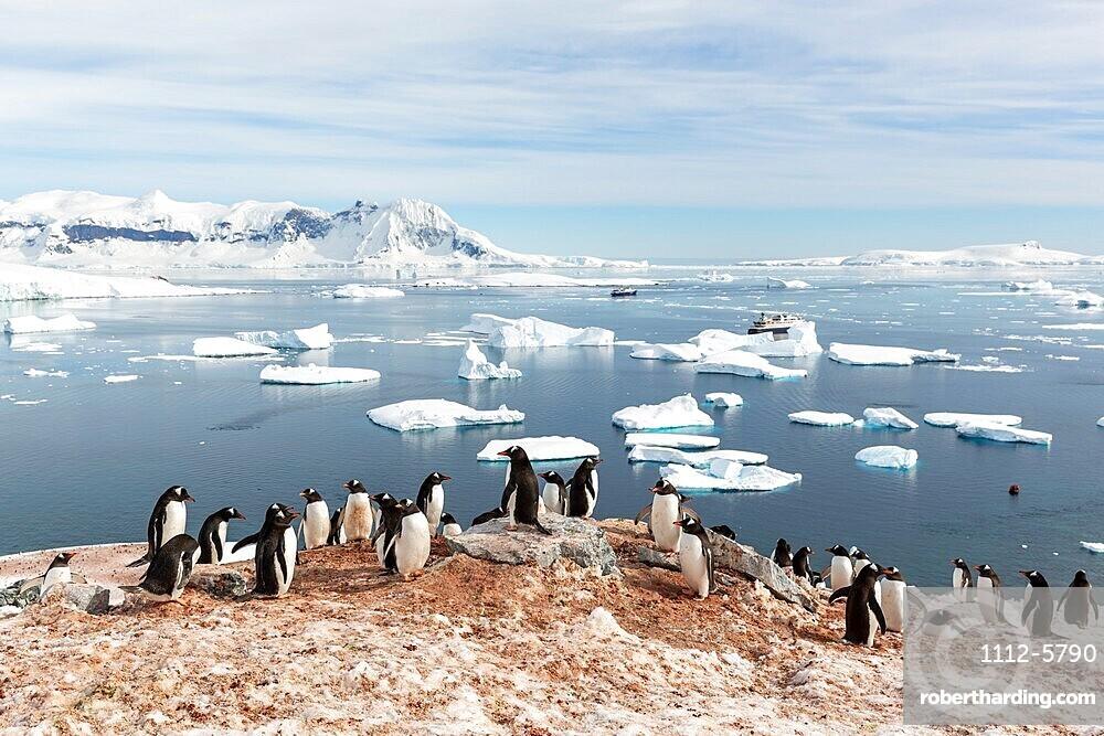 Gentoo penguin, Pygoscelis papua, breeding colony on Cuverville Island, Antarctica.