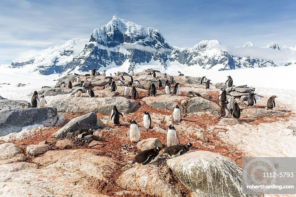 Gentoo penguins (Pygoscelis papua), breeding colony on Weincke Island, Naumeyer Channel, Antarctica, Polar Regions
