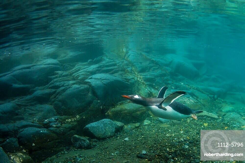 Gentoo penguins Pygoscelis papua, swimming underwater at Port Lockroy, Antarctica.