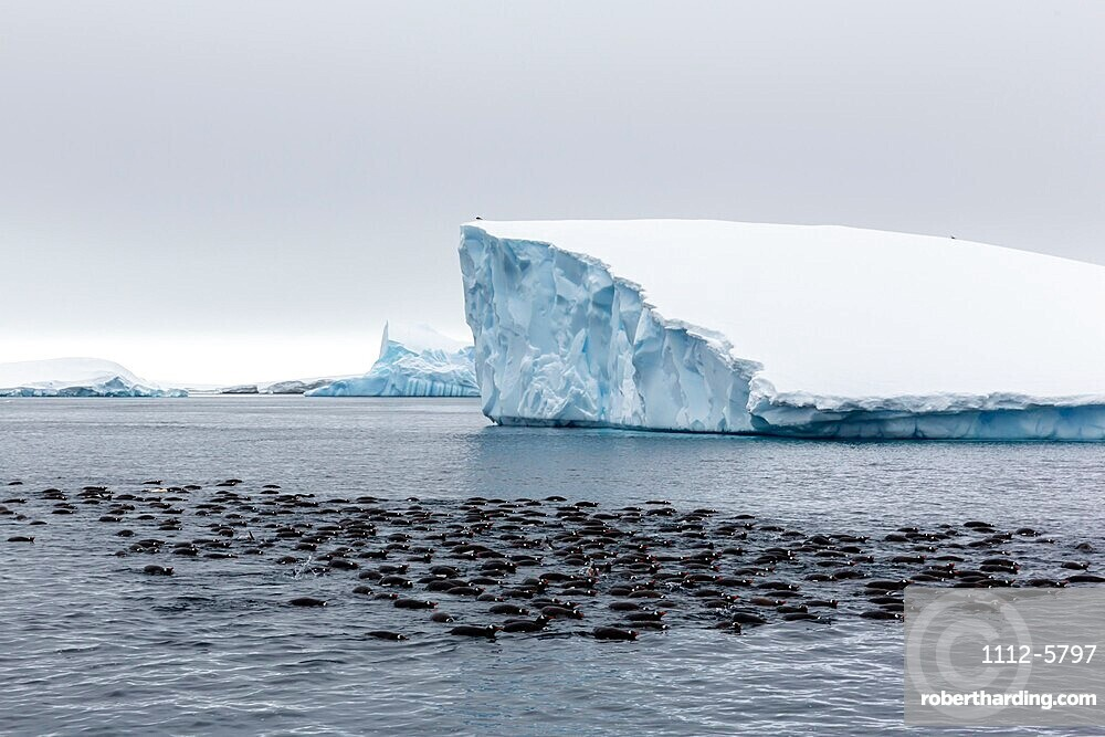 Large raft of gentoo penguins, Pygoscelis papua, group feeding at Booth Island, Antarctica.