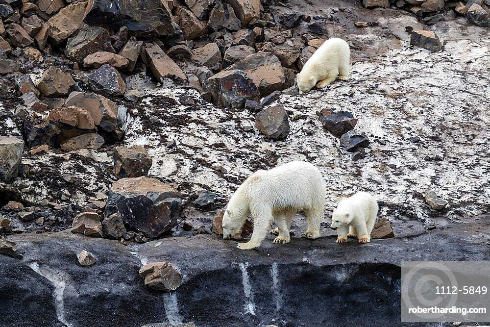 A mother polar bear, Ursus maritimus, with two cubs of the year foraging for food at Cape Brewster, Greenland.