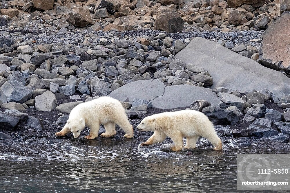 Polar bear cubs of the year, Ursus maritimus, foraging for food with mom nearby, Cape Brewster, Greenland.