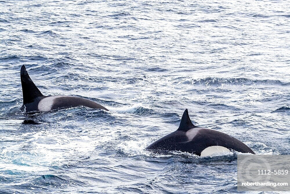 Killer whales, Orcinus orca, power-lunging while feeding on fish along the coast of eastern Greenland.