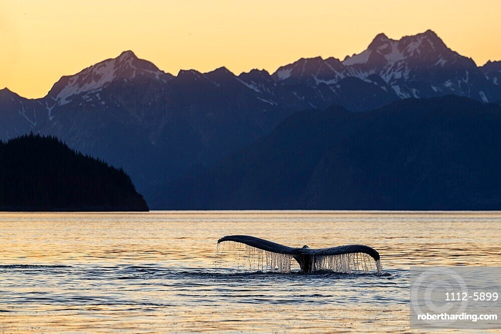 Adult humpback whale (Megaptera novaeangliae), flukes-up dive at sunset in Glacier Bay National Park, UNESCO World Heritage Site, Alaska, United States of America, North America