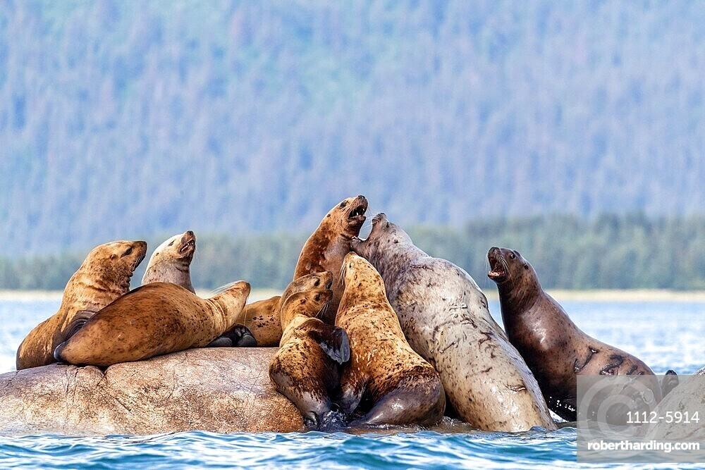 Steller sea lions (Eumetopias jubatus), haul out site, South Marble Islands, Glacier Bay National Park, UNESCO World Heritage Site, Alaska, United States of America, North America