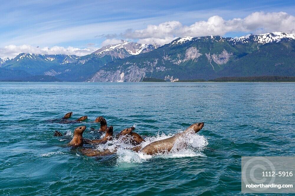 Curious Steller sea lions (Eumetopias jubatus), South Marble Islands, Glacier Bay National Park, UNESCO World Heritage Site, Alaska, United States of America, North America