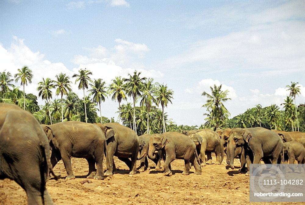Elephant herd near Kandy, Sri Lanka