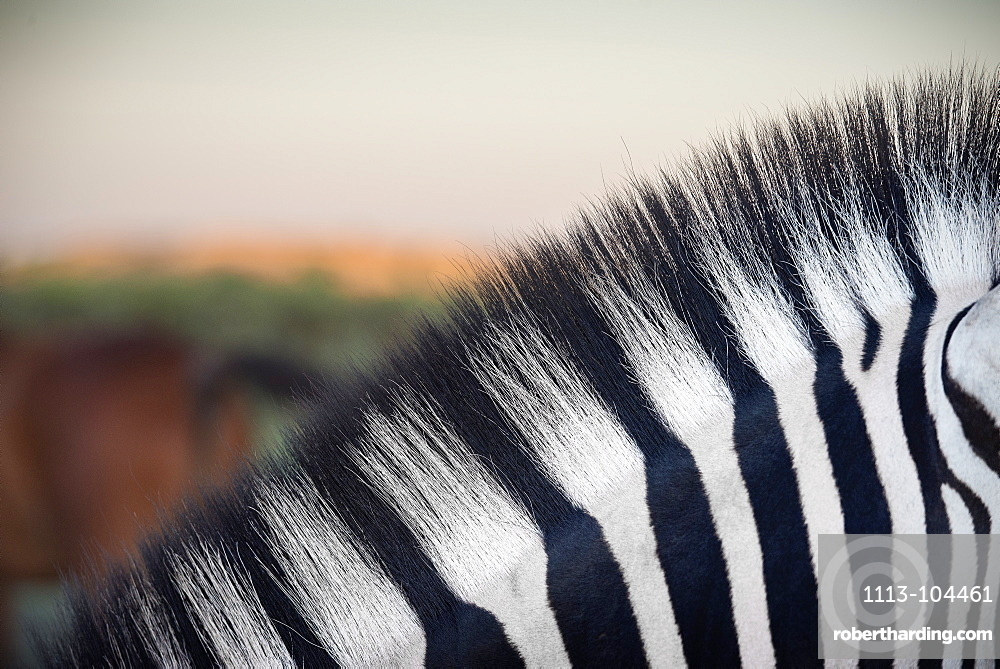 Detail of black and white stripes of a zebra, Etosha National Reserve, Namibia, Africa