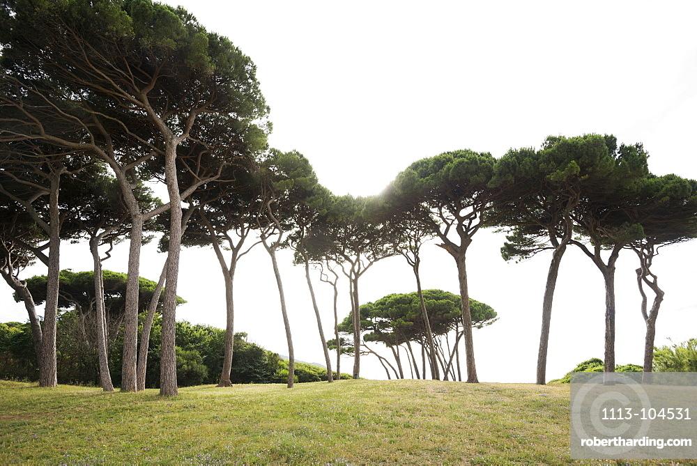 Pine trees and beach, Populonia, near Piombino, province of Livorno, Tuscany, Italy