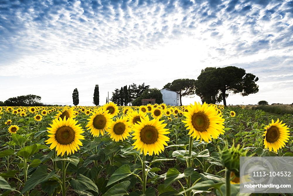 field of sunflowers, near Piombino, province of Livorno, Tuscany, Italy