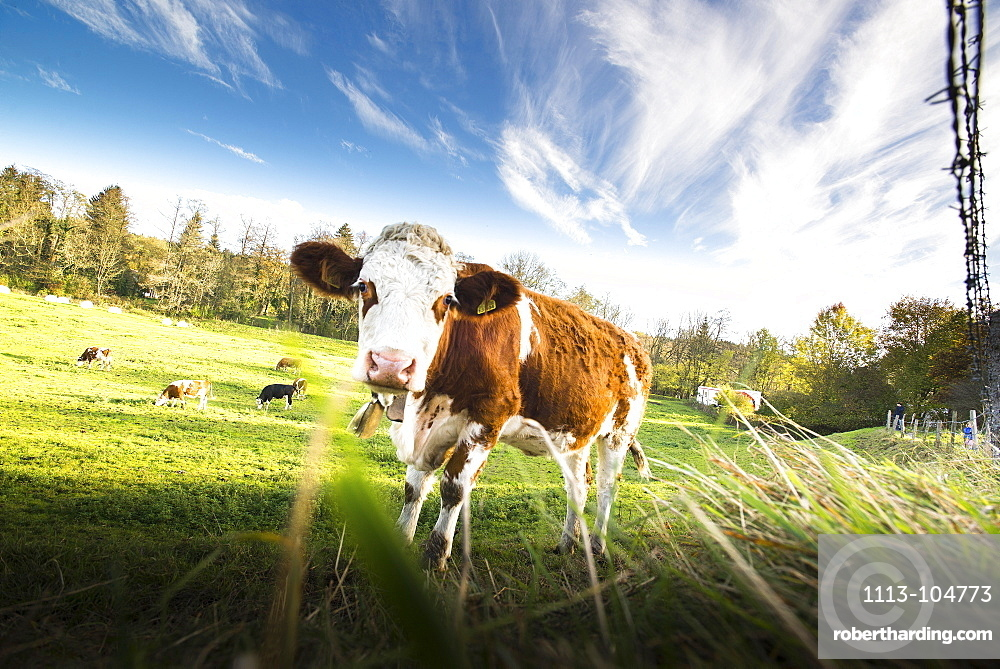 Calf standing on a meadow at a fence and looking, Gauting, Bavaria, Germany
