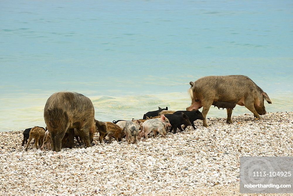 Wild boar (Sus Scrofa, Suidae) and young piglets, on the pebble beach of the bay Cala Sisine, Selvaggio Blu, Sardinia, Italy, Europe