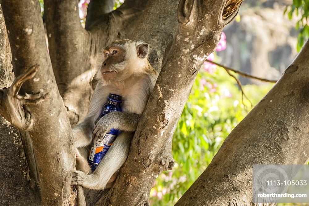 Monkey on a tree clutching a stolen water bottle, Bali, Indonesia