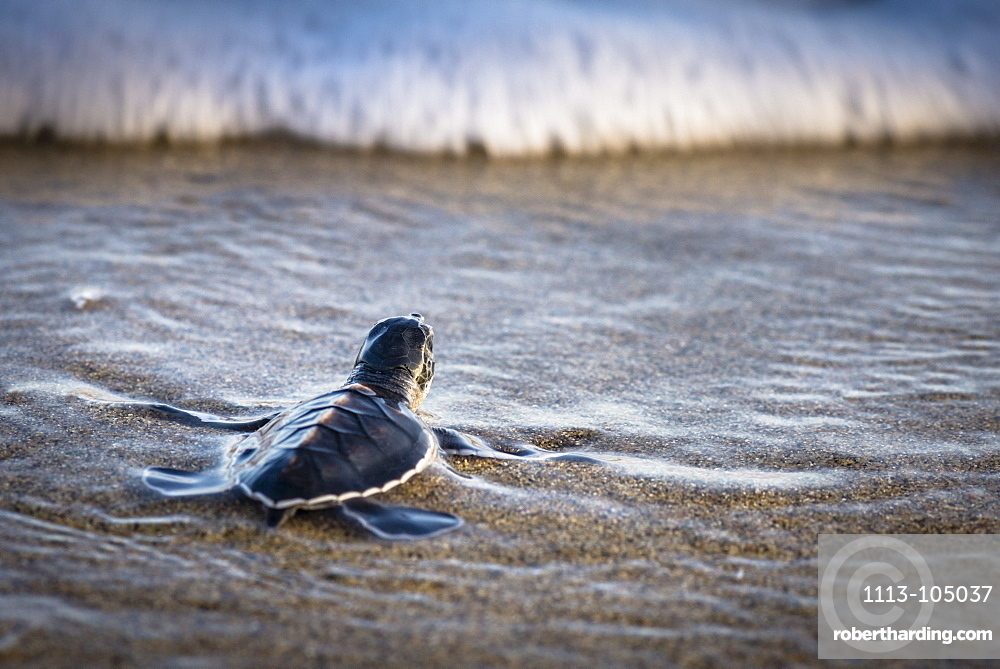 Baby green turtle shortly before getting overrun by a wave, Java, Indonesia