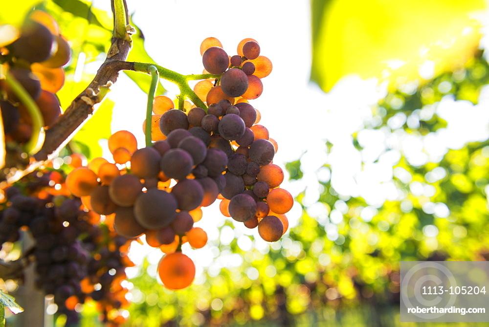 Red grapes on a vine, backlight, near Freiburg im Breisgau, Baden-Wuerttemberg, Germany