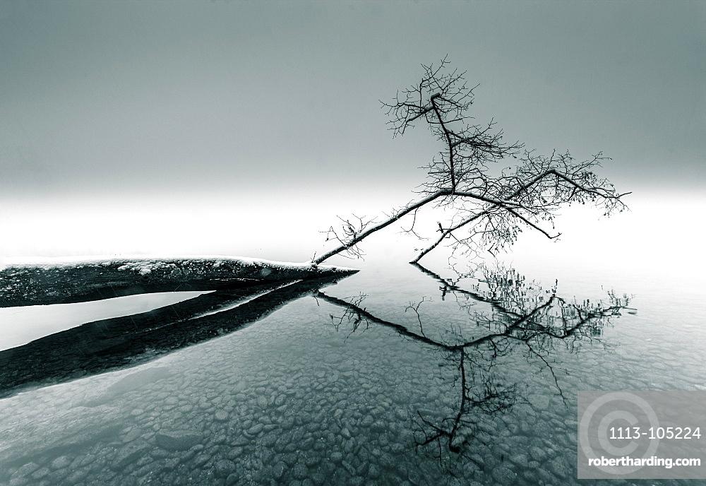 Snow-covered fallen tree lying in the water, Lake Starnberg, Bavaria, Germany