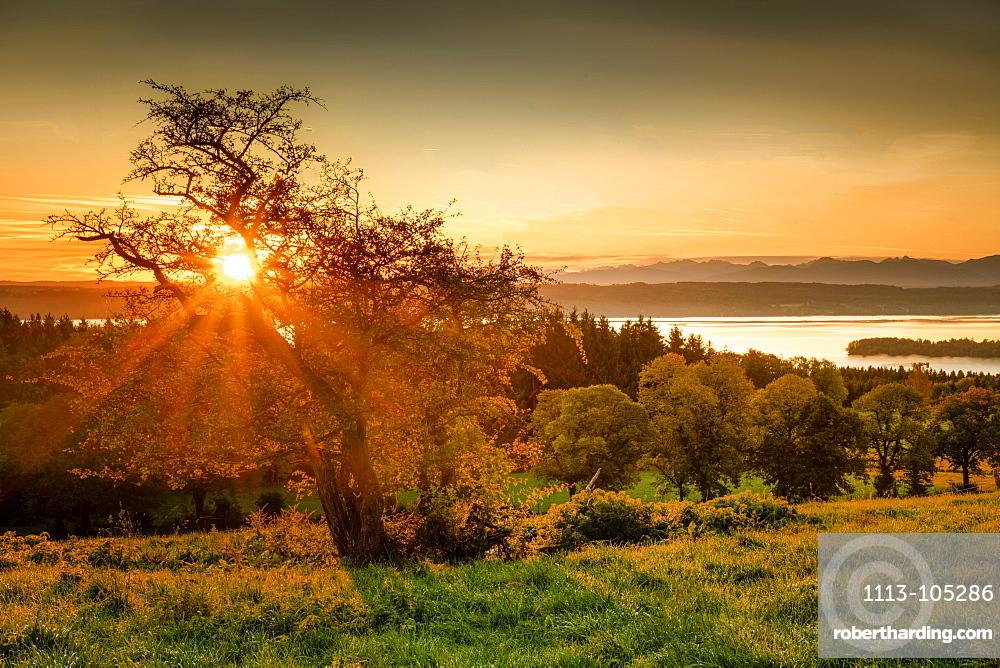 Tree in backlight at sunrise on Lake Starnberg, Ilkahöhe, Bavaria, Germany