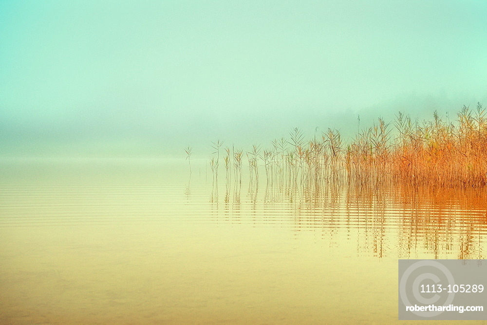 Reflection of reeds at Fohnsee (Ostersee), Bavaria, Germany