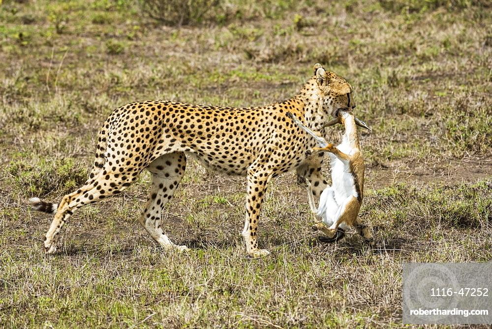 Female Cheetah (Acinonyx jubatus) drags freshly killed Thomson's Gazelle (Eudorcas thomsonii) in the Ndutu area of the Ngorongoro Conservation Area on the Serengeti Plains, Tanzania