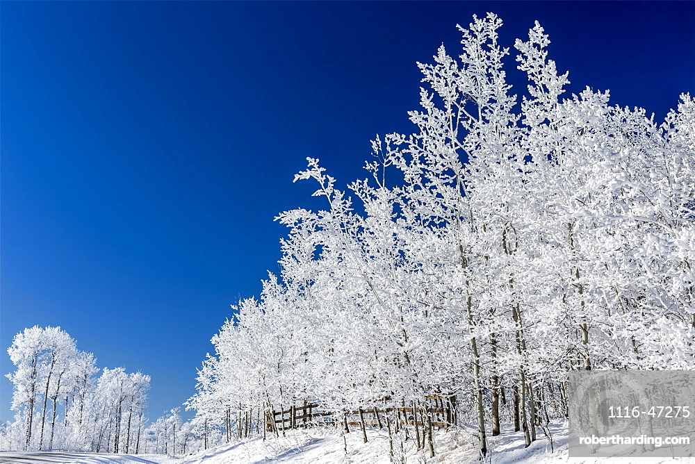 Frosted trees against a deep blue sky with wooden fence, Bragg Creek, Alberta, Canada