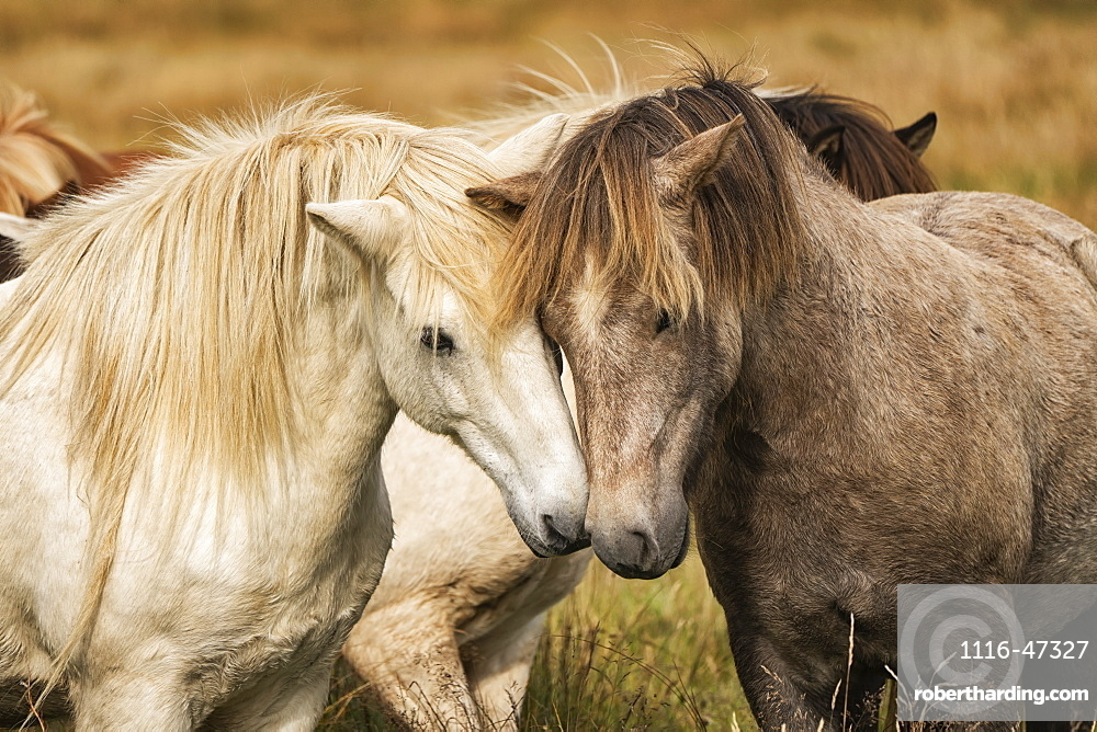 Icelandic horses in their natural setting, Iceland