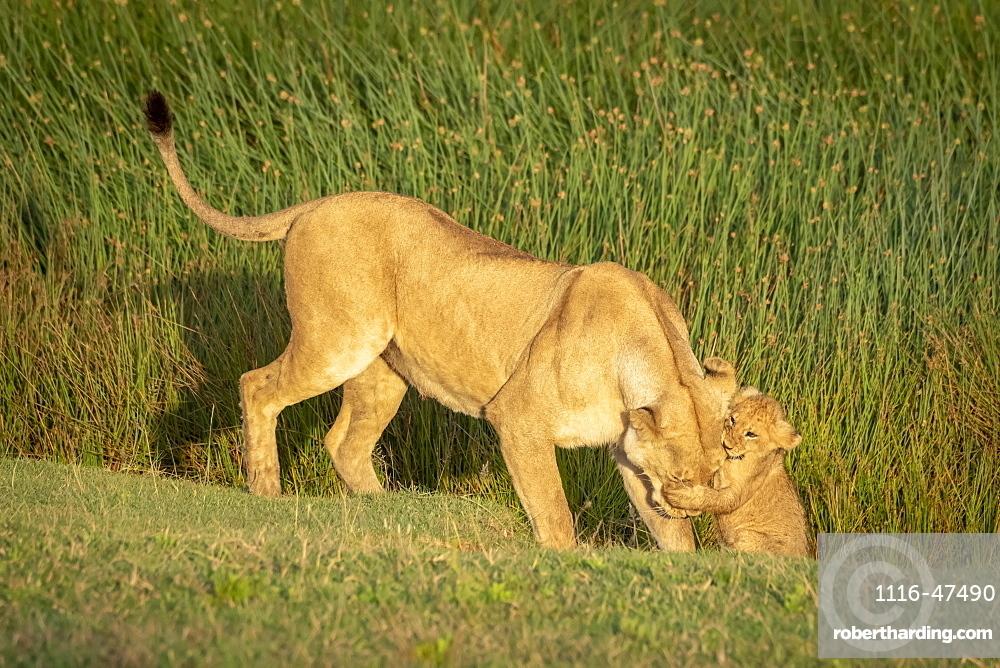 Lion (Panthera leo) cub grabs head of lioness on grass, Serengeti National Park, Tanzania