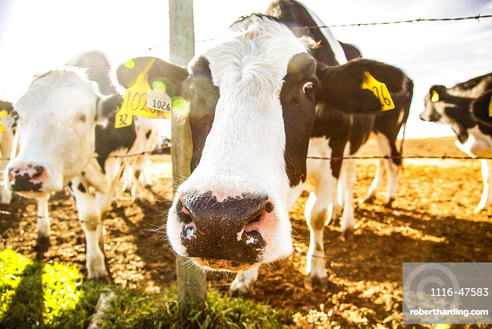 Two Holstein cows standing at a barb wire fence looking curiously at the camera with identification tags in their ears at a robotic dairy farm, North of Edmonton, Alberta, Canada