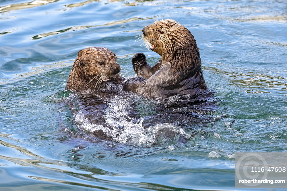 Sea otters (Enhydra lutris) swimming and playing while they eat in the water near the small boat harbour, Seward, Alaska, United States of America
