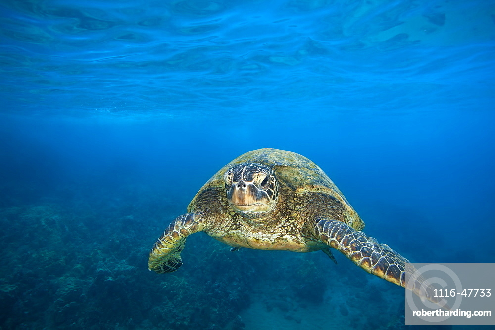 A Hawaiian Green sea turtle (Chelonia mydas) swimming in clear, blue water, Makena, Maui, Hawaii, United States of America