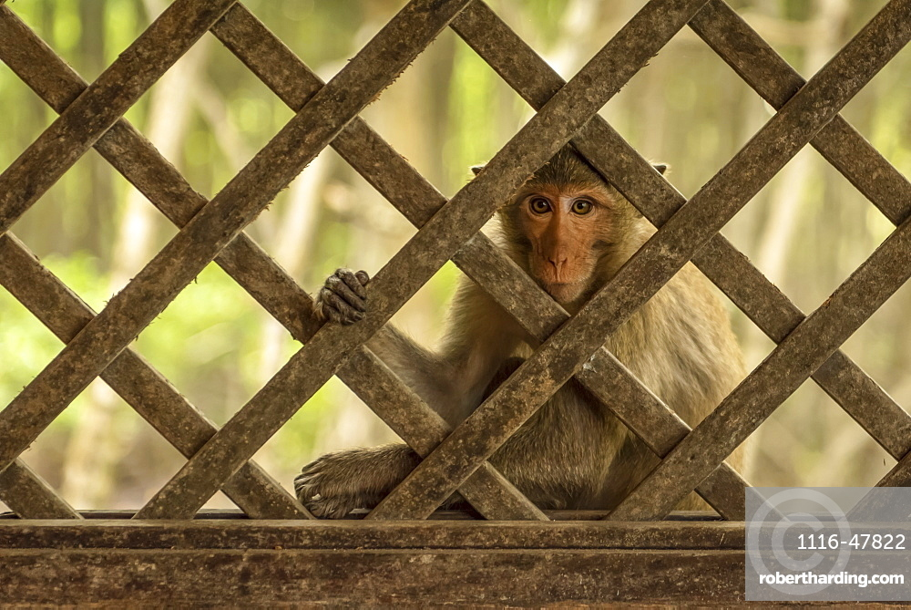 Close-up of long-tailed macaque sits behind wood trellis window, Can Gio, Ho Chi Minh, Vietnam