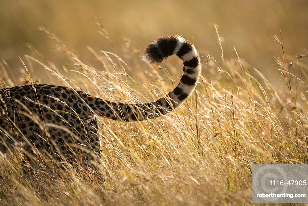 Close-up of tail of cheetah (Acinonyx jubatus) in grass, Maasai Mara National Reserve, Kenya