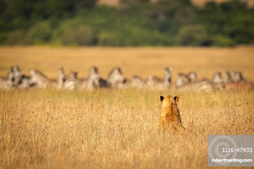 Lion (Panthera leo) sits in long grass watching zebra (Equus quagga), Maasai Mara National Reserve, Kenya