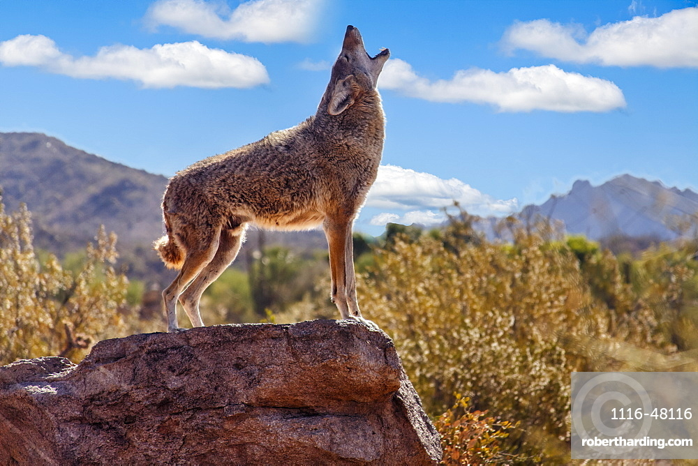 Howling Wolf (canis lupus), Tuscon, Arizona, United States of America