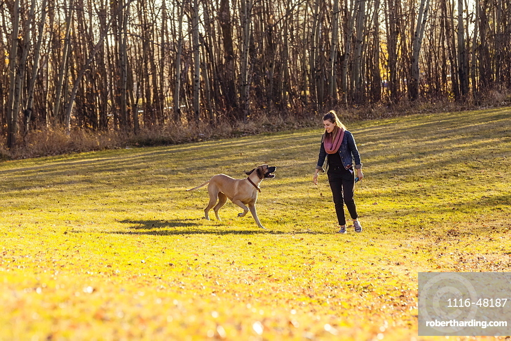 A beautiful young woman allowing her Great Dane to run and have fun in an off-leash dog park during a warm autumn evening, Edmonton, Alberta, Canada