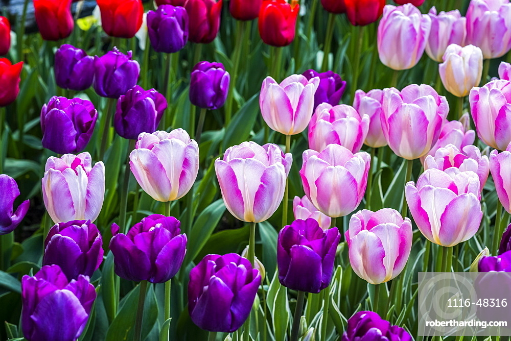 Close-up of tulips growing in a flower bed, Mount Vernon, Washington, United States of America