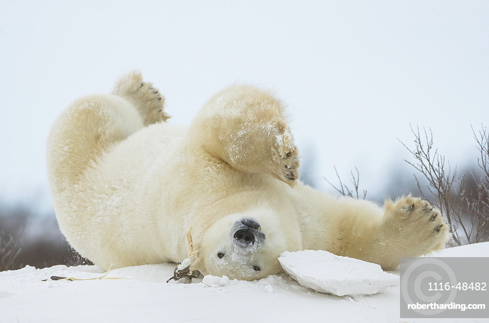 Polar bear (Ursus maritimus) upside down playing in the snow, Churchill, Manitoba, Canada