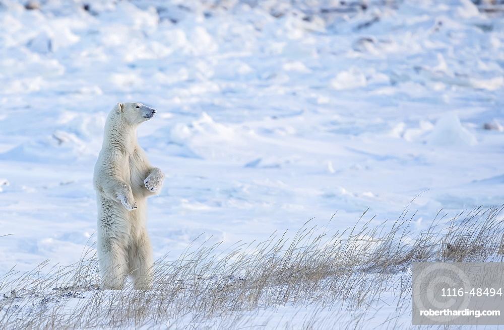 Polar bear (Ursus maritimus) standing in the snow looking beautiful, Churchill, Manitoba, Canada